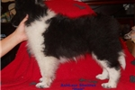 Picture of Stunning AKC Reg CH Sired Black and White male