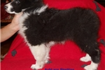 Picture of Stunning AKC Reg CH Sired Black and White Female