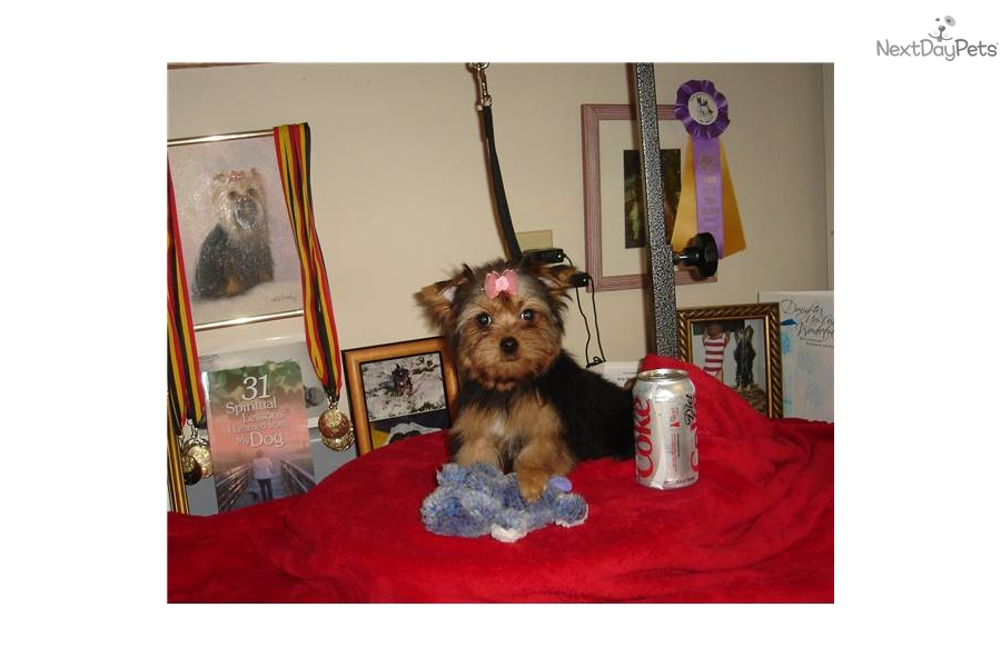 Yorkshire Terriers For Sale In Georgia | Dog Breeds Picture
