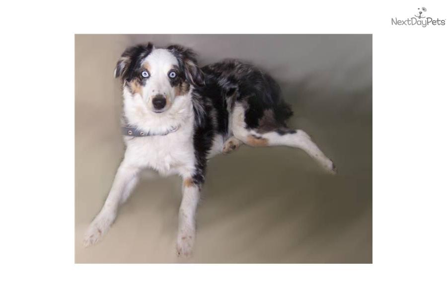 Miniature australian shepherd puppy for sale near spokane coeur d