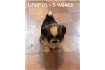 Picture of AKC Male - Gremlin