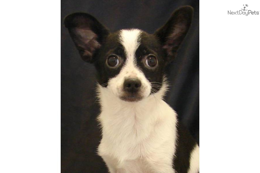 Male #2 a cute Papillon puppy for sale for $300. Pappi-huahua Papillon ...