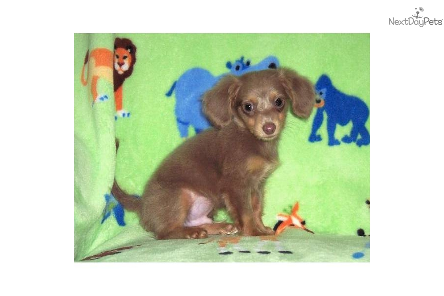 Chiweenie Mixed Breed Dog Wearing A Pink And Brown Outfit Isolated On ...