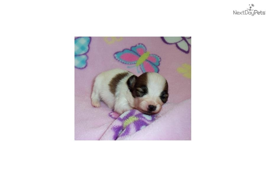 Papillon Puppy For Sale Near Northwest Ga Georgia 3cf483f0 1a01