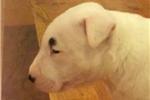 Picture of AKC Bull Terrier Girl - Sosa
