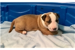 Picture of AKC Bull Terrier Boy - Juno