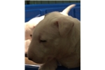 Picture of AKC Bull Terrier Boy - Axel