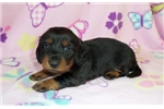 Picture of AKC Longhair Dawn
