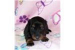 Picture of AKC Longhair Daisy