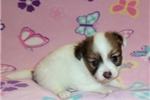 Picture of a Papillon Puppy