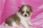 Picture of AKC Honey