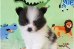 Pomchi for sale