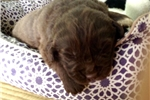 Featured Breeder of Sheepadoodles with Puppies For Sale