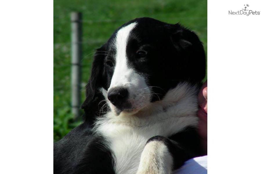 Interceptor for dogs sale