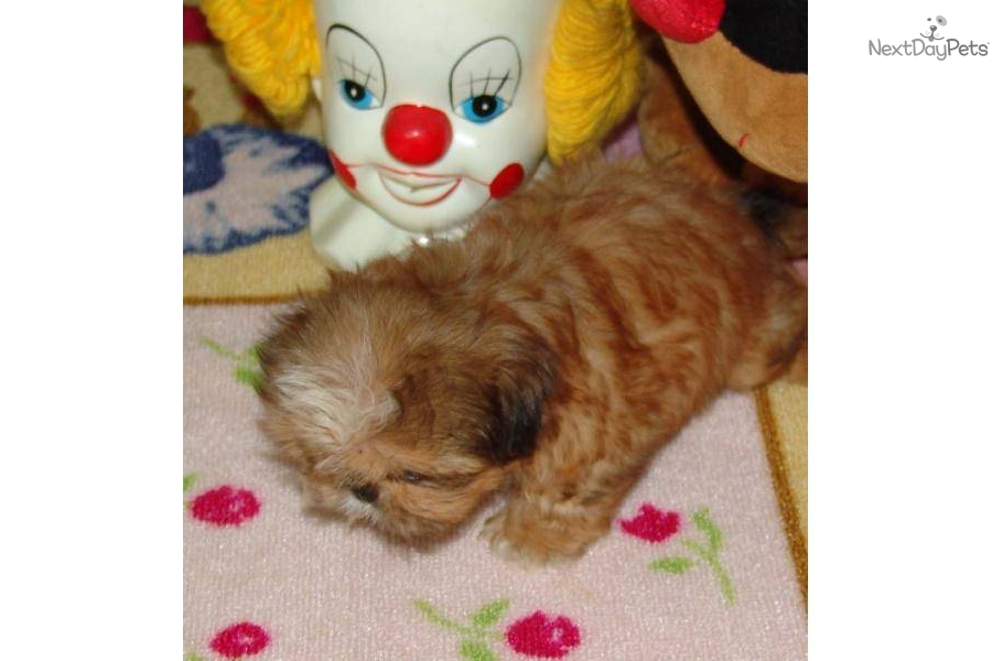 Potty trained shih tzu puppies sale vic