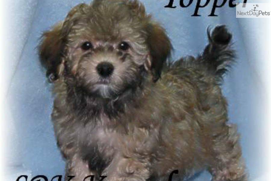 Havapoo Puppy For Sale Near Fort Dodge Iowa B5965a69 47e1
