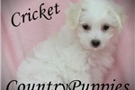 Picture of Cricket Amazing Small Female