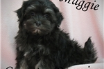 Picture of Maggie Very Small Havanese