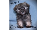 Picture of Moses Very Small Havanese