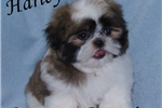 Picture of Harley - Amazing Small Shih Tzu Male