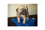Picture of a Presa Canario Puppy