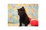 Picture of a Schipperke Puppy