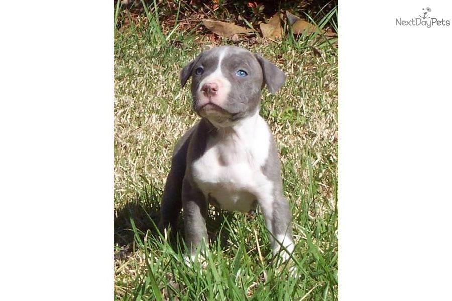 American Pit Bull Terrier for sale for $800, near Jacksonville, North ...
