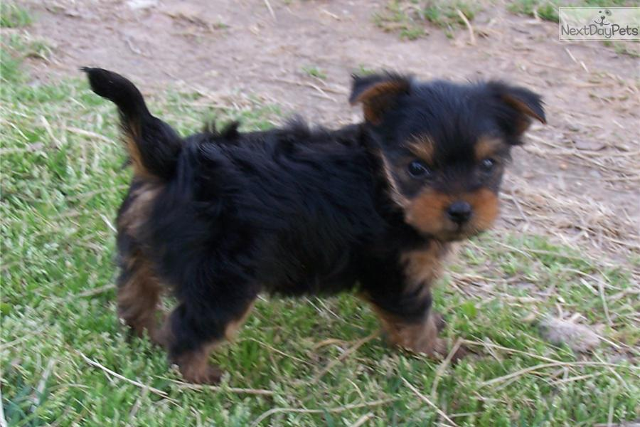 Champion Sired Puppies Available for show or pet. All our sires are ...