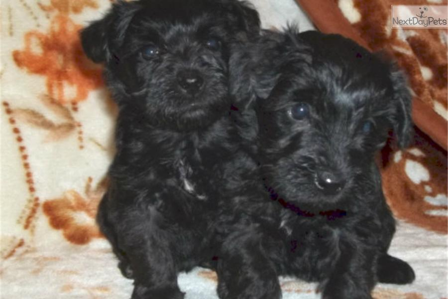 Schnoodle puppy for sale near dubuque iowa 8d297419 cfb1
