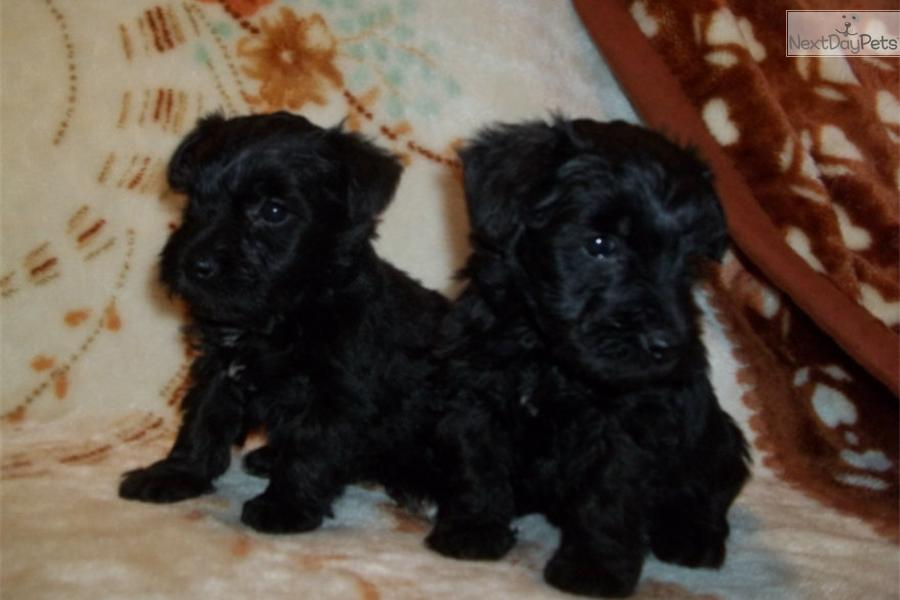 ... Molly a cute Schnoodle puppy for sale for $400. Female Schnoodle puppy