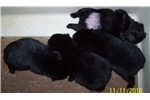 Picture of AKC Champion bloodline, Schipperke pups
