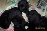 Picture of Purebred Schipperke male puppy available