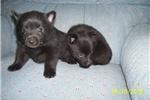 Picture of Schipperke pups-Purebred