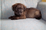 Picture of Adorable Schnoodle puppy