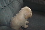 Picture of Adorable male Schnoodle puppy