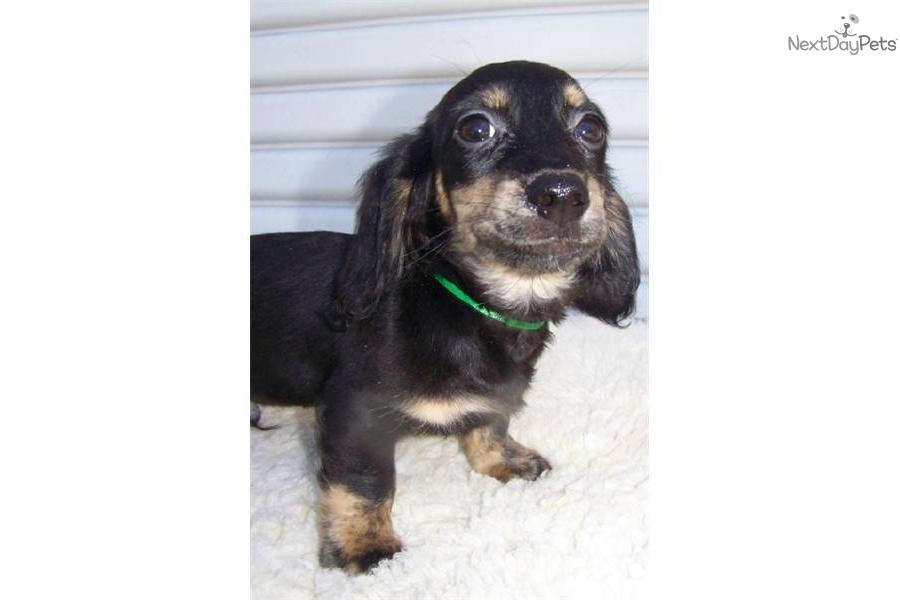 Meet BLACK & CREAM BRINDLE 2 a cute Dachshund, Mini puppy for sale for ...