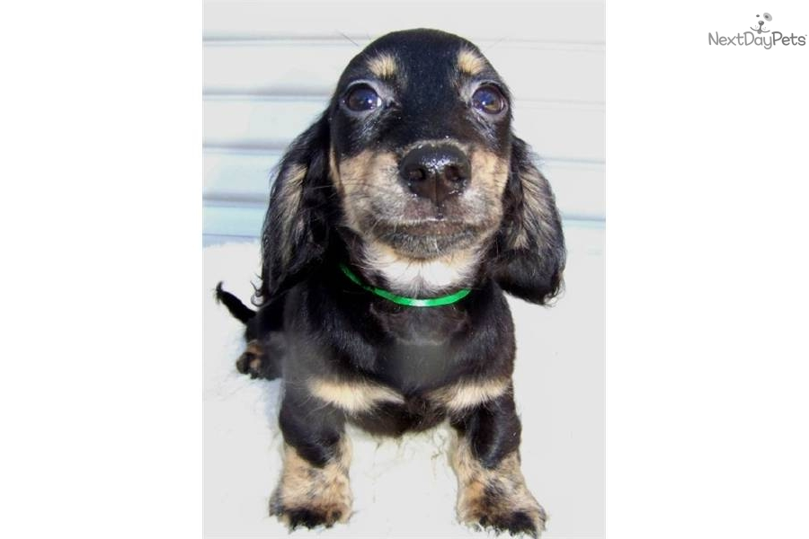 Cream Brindle Dachshund Puppies | Dog Breeds Picture
