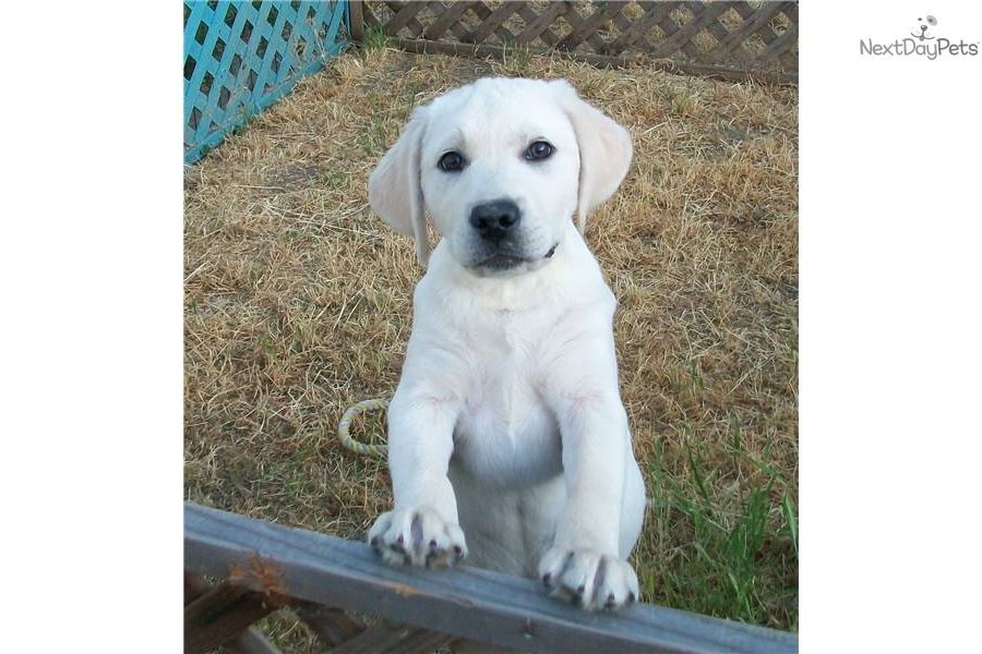 English White Lab Puppies For Sale In Michigan | Dog Breeds Picture