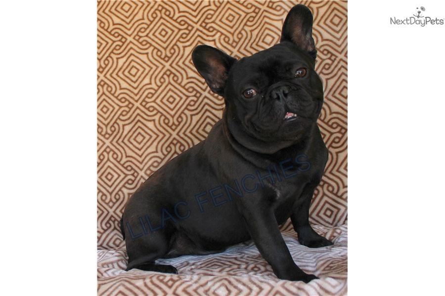 Spooky: French Bulldog puppy for sale near Inland Empire ...