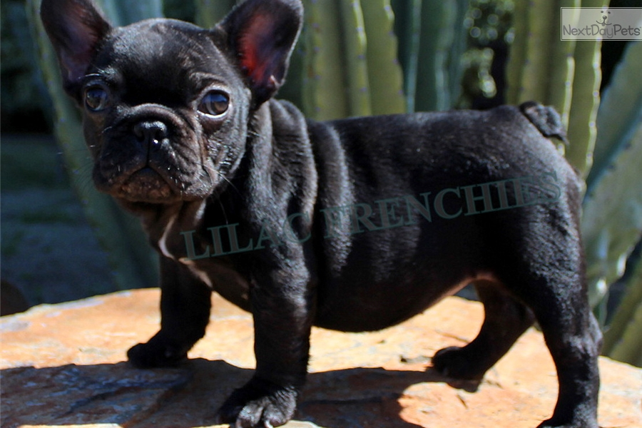 French Bulldog Puppies For Sale Inland Empire | Dog Breeds Picture