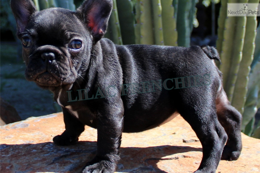 French Bulldog Puppies For Sale Inland Empire | Dog Breeds ...