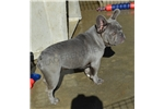 Picture of Very rare color Lilac Brindle