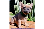 Picture of Blue fawn Bb ay/at