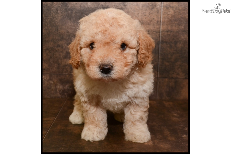 Dogs Oodle Com Reviews