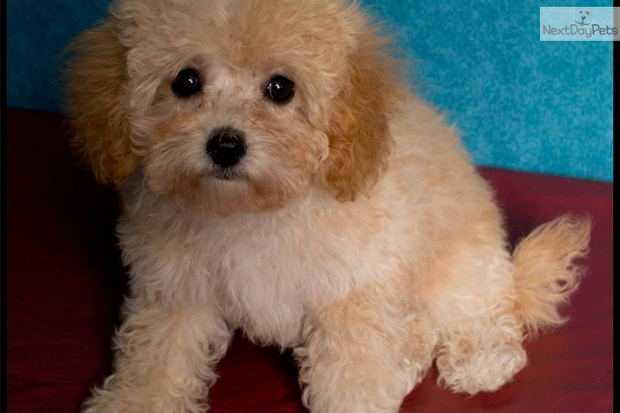 Apricot Maltipoo Full Grown Maltipoos Pictures to pin on Pinterest