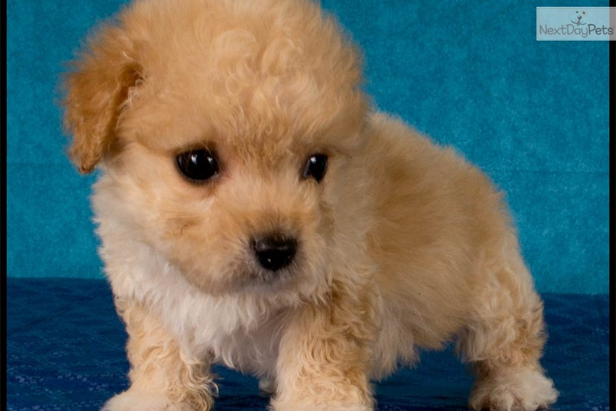 Pin Apricot Maltipoo Puppies For Sale on Pinterest
