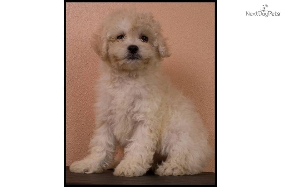 matipoo maltepoo multipoo puppydog malti poo maltipoo puppy 2b51cfae