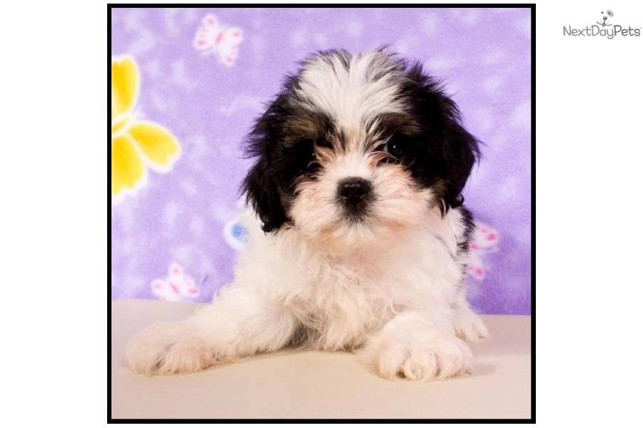 Meet 1323 a cute shih poo shihpoo puppy for sale for 550 shihpoo