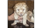 Picture of Visit ABCpuppy.com for details Puppy ID 847