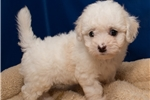 Picture of Visit ABCpuppy.com for details Puppy ID 896